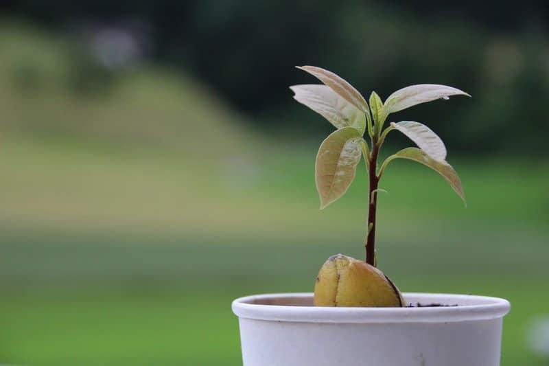 avokádo rostlina
