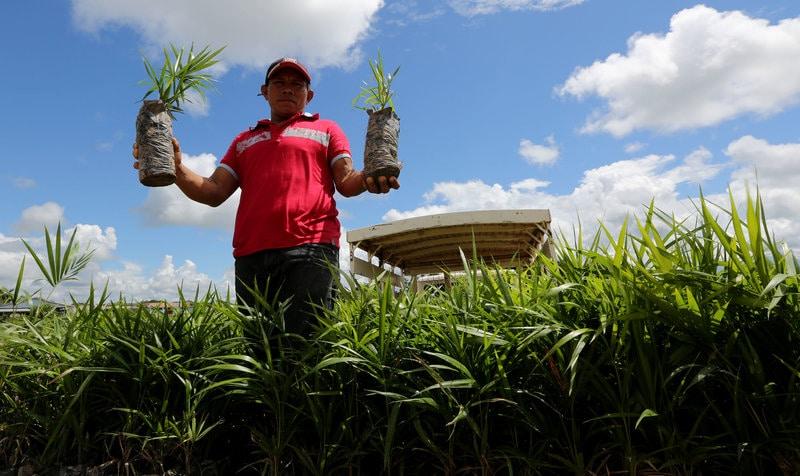 komerční pěstování acai