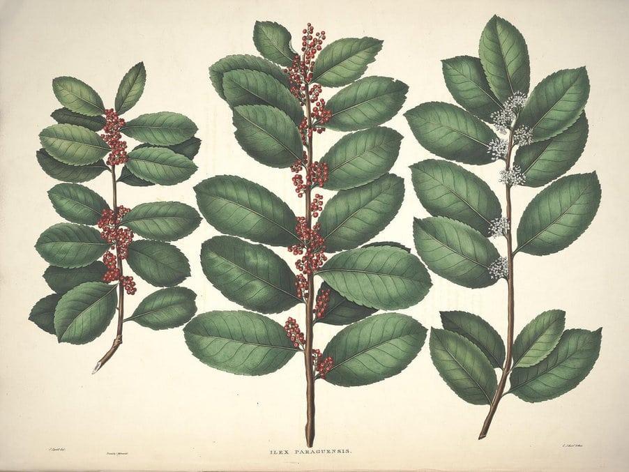 yerba maté listy květy plody
