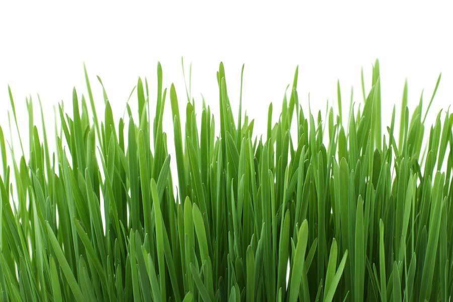 mladý zelený ječmen