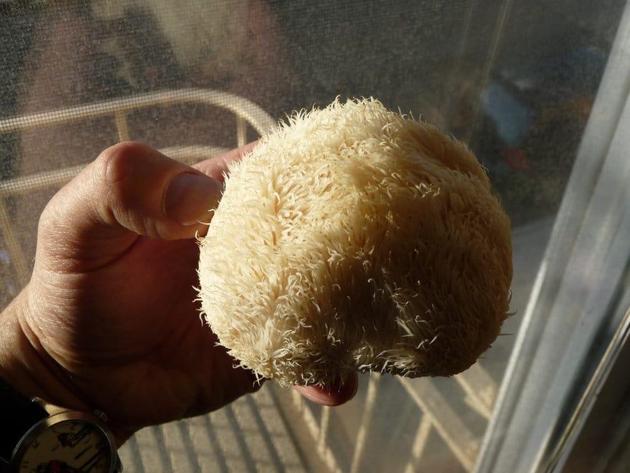 korálovec ježatý